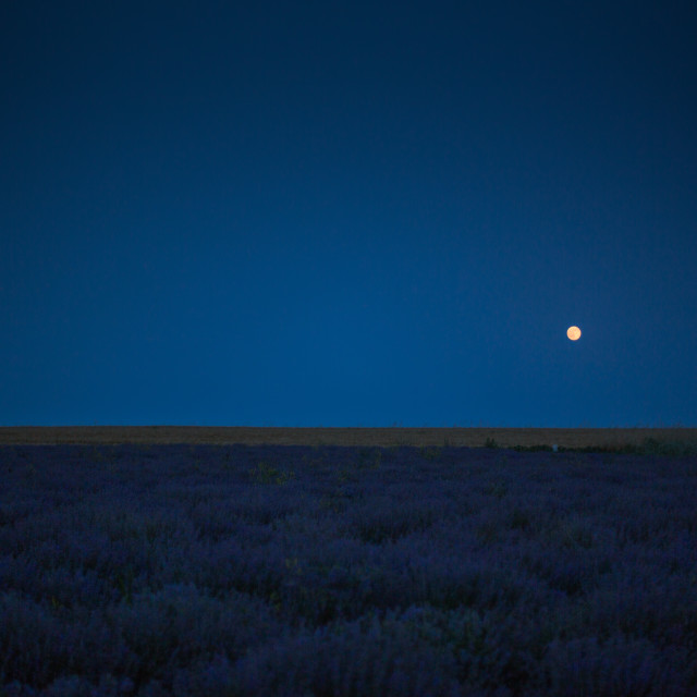 """Purple Lavender field in the night under the moon"" stock image"