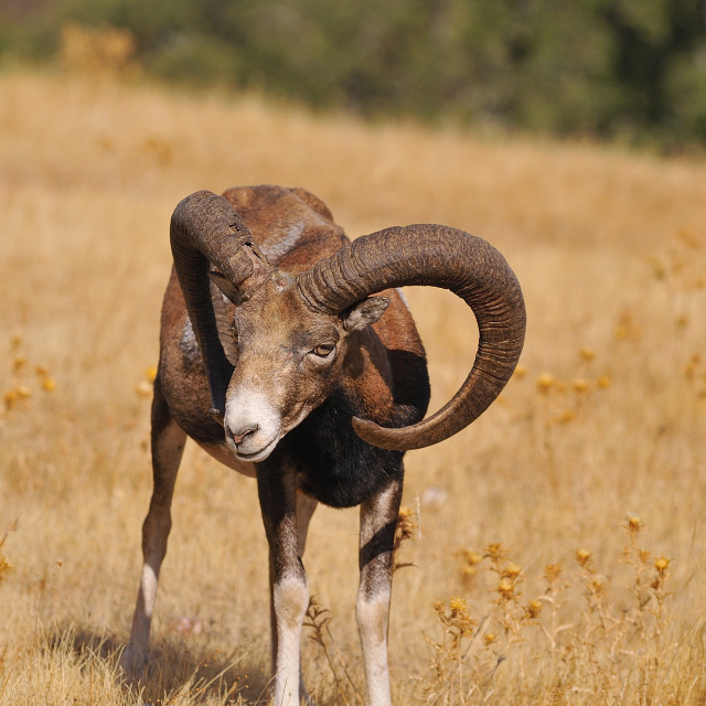 """European mouflon in the field."" stock image"