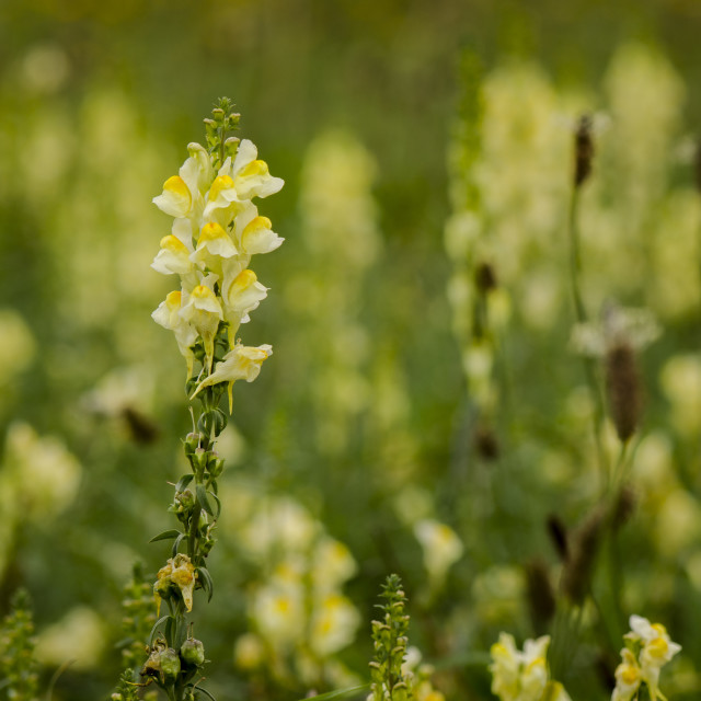 """meadow full of common toadflax, yellow toadflax, or butter-and-eggs"" stock image"