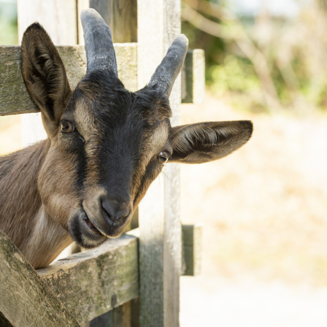 """Young goat chewing"" stock image"