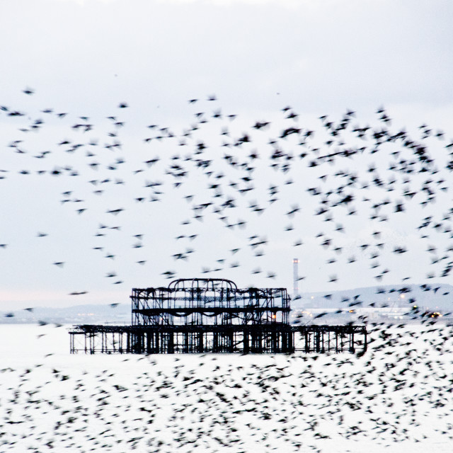 """Starlings flocking near the West Pier"" stock image"
