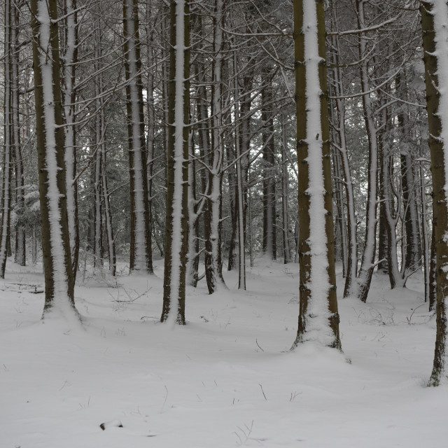 """""""A forest in the snow"""" stock image"""