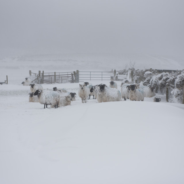 """""""Sheep in a snow covered field."""" stock image"""