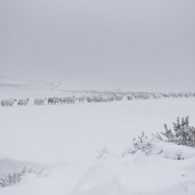 """Sheep walk through a snowy field."" stock image"