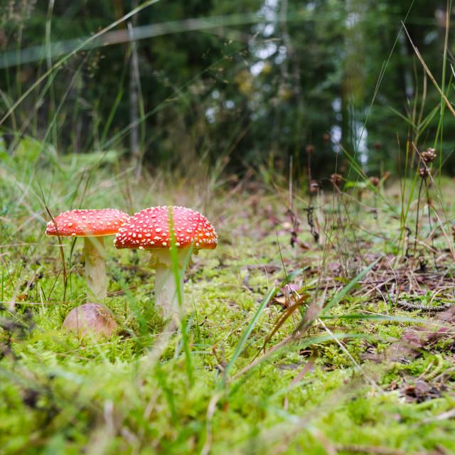 """Death Cap mushrooms on forest floor"" stock image"