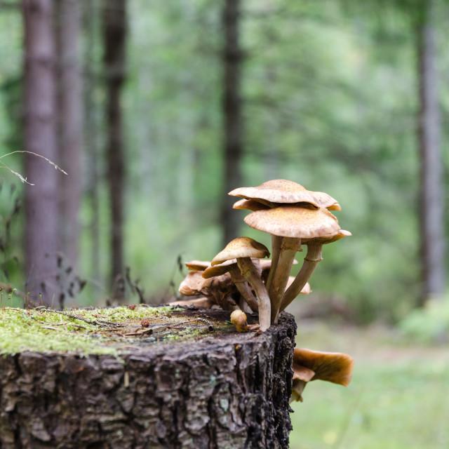 """Group of mushrooms on a tree stump"" stock image"