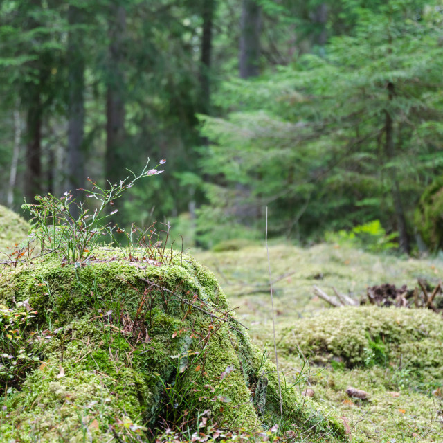 """""""Moss covered old stump"""" stock image"""