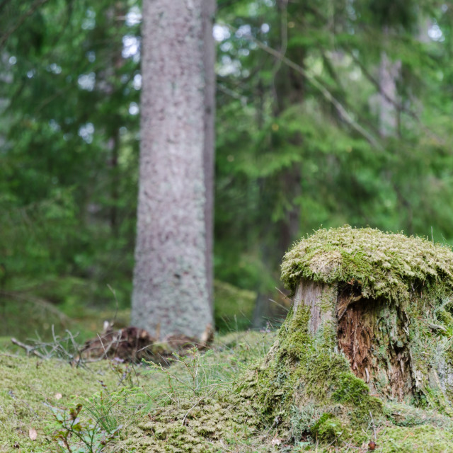 """""""Old moss wrapped tree stump"""" stock image"""