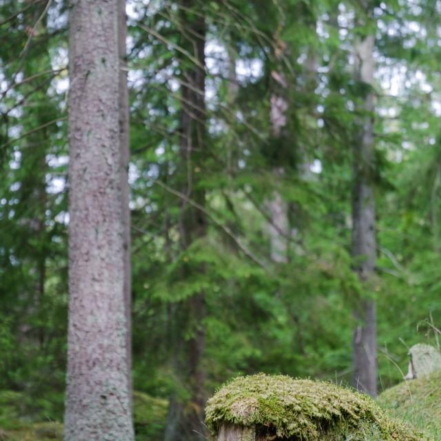 """Mossy old tree stump"" stock image"