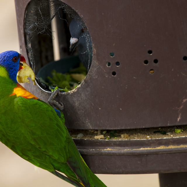 """Parrot and pigeon"" stock image"