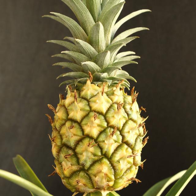 """fresh pineapple fruit on a pineapple plant (Ananas comosus) closeup"" stock image"
