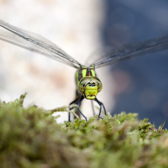 """""""Southern Hawker close up"""" stock image"""