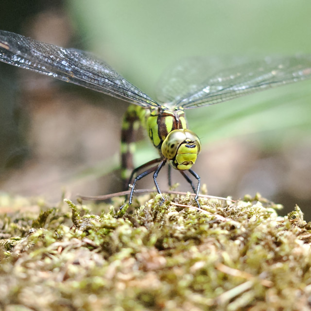 """""""Southern Hawker Female"""" stock image"""
