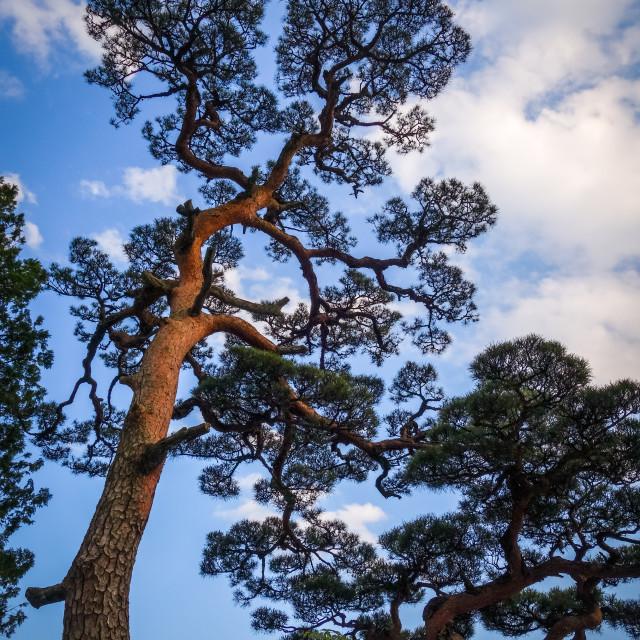 """japanese black pine on a blue sky, Nikko, Japan"" stock image"