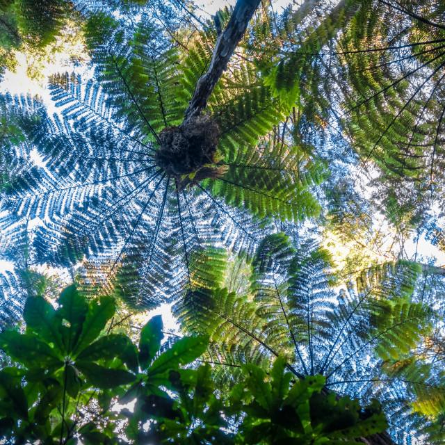 """Giant ferns in redwood forest, Rotorua, New Zealand"" stock image"
