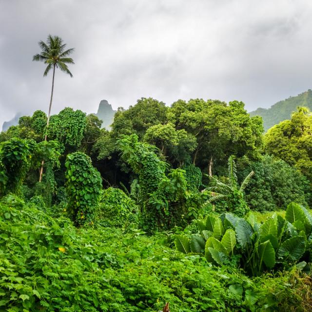 """Moorea island jungle and mountains landscape"" stock image"