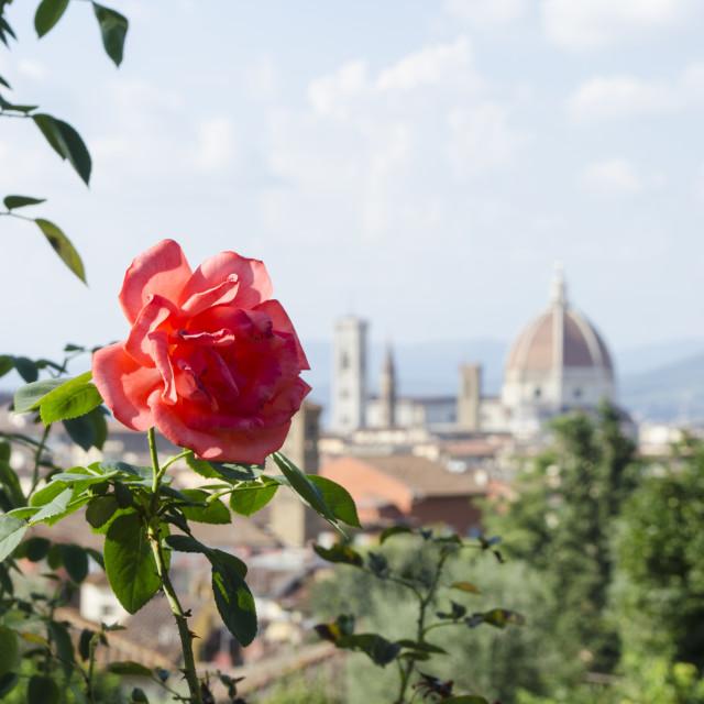 """""""Duomo Rose"""" stock image"""
