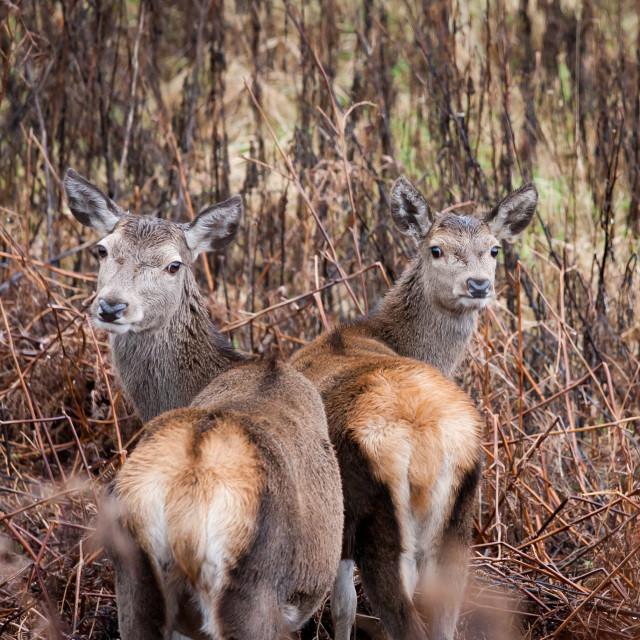 """""""Red Deer Looking Back"""" stock image"""