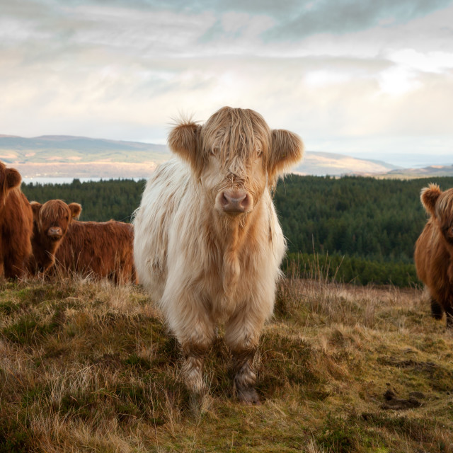 """""""Highland Cows"""" stock image"""