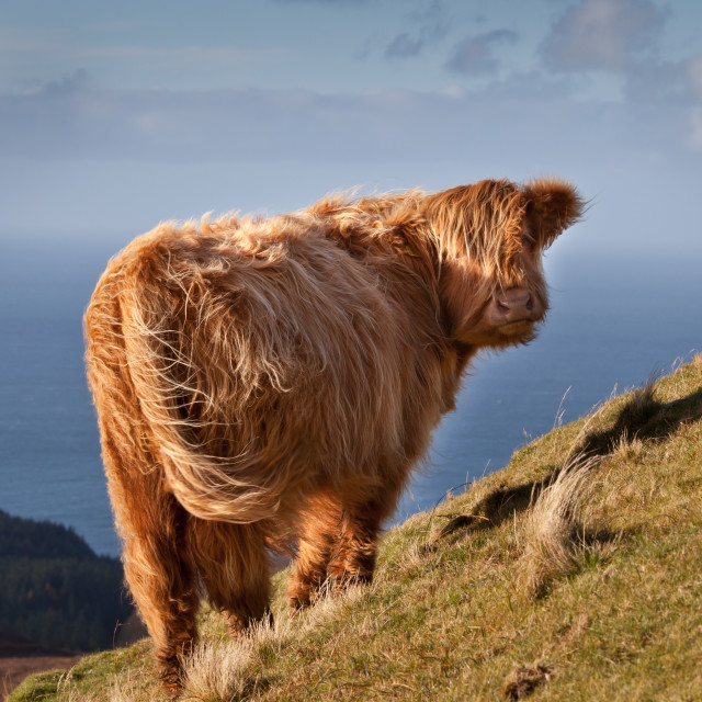 """""""Highland Cow on the Edge"""" stock image"""