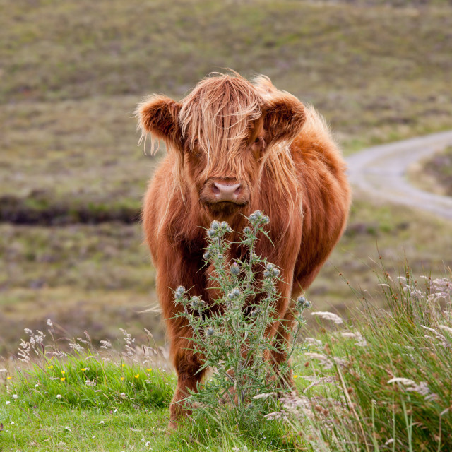 """""""Young Highland Cow"""" stock image"""