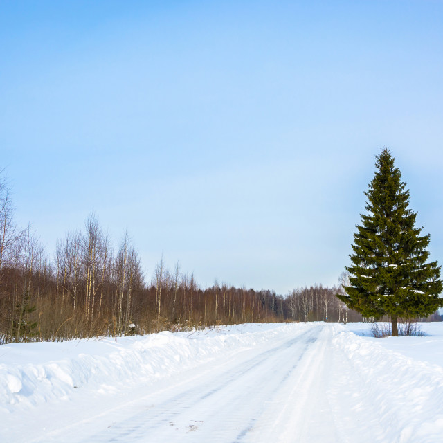 """""""Green slender spruce at the edge of a snowy road."""" stock image"""