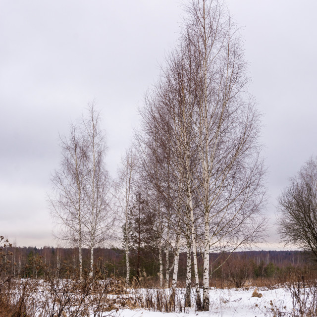 """""""A group of slender birches in the beginning of winter."""" stock image"""