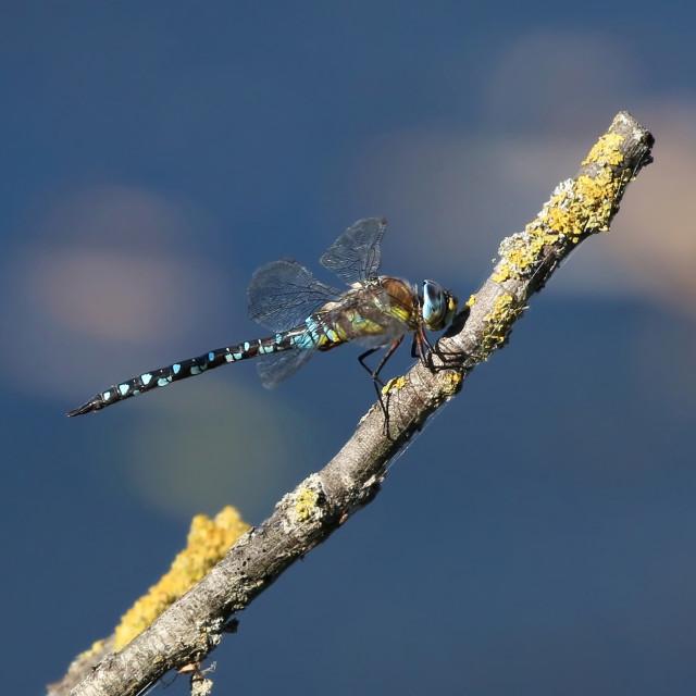 """Emperor Hawker Dragonfly"" stock image"