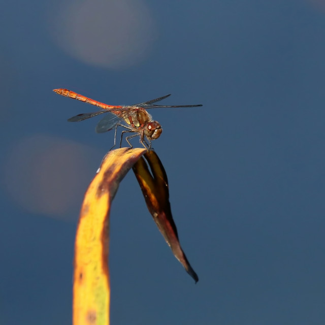 """Common Darter Dragonfly"" stock image"