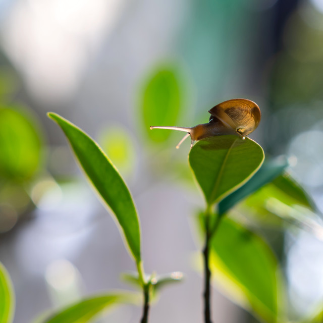 """Snail climbing on leaf"" stock image"