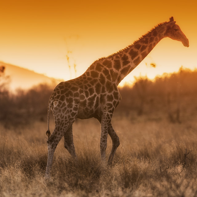 """Giraffe at sunset"" stock image"