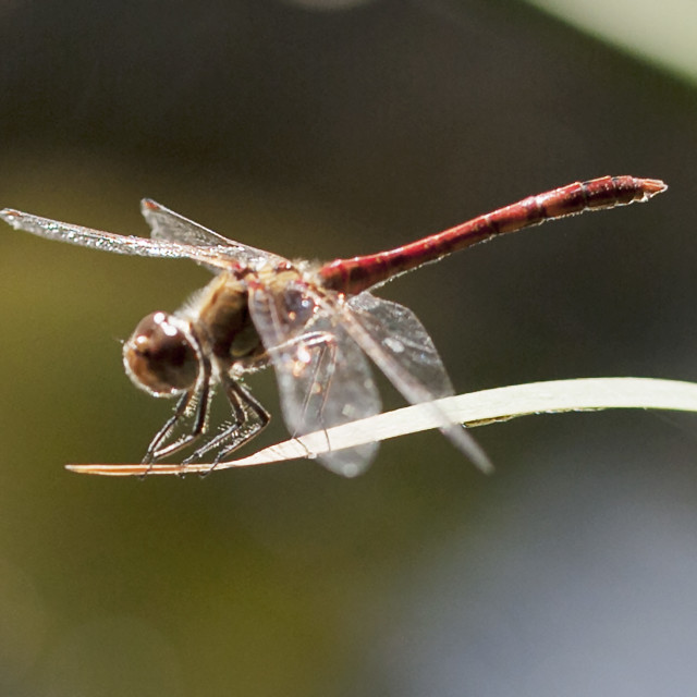 """""""Common Darter up close"""" stock image"""