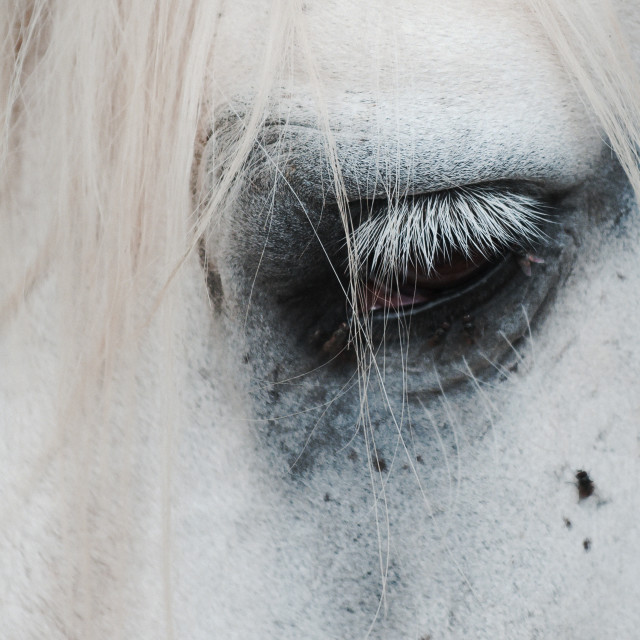 """Percheron horse's eye"" stock image"