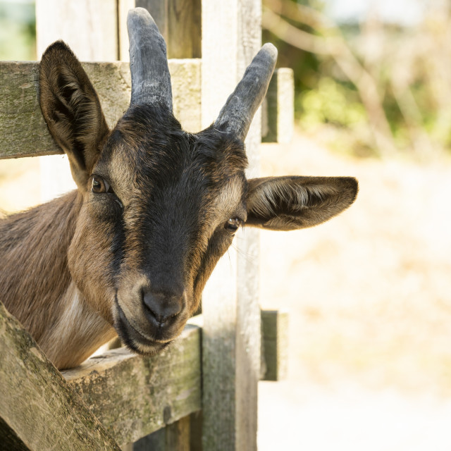 """""""Curious young farm goat"""" stock image"""