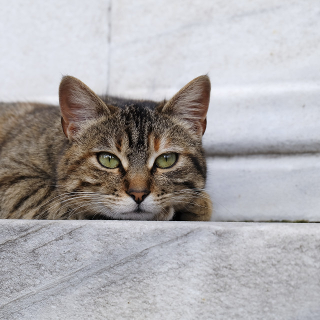 """""""Green eyed tabby cat on marble wall"""" stock image"""