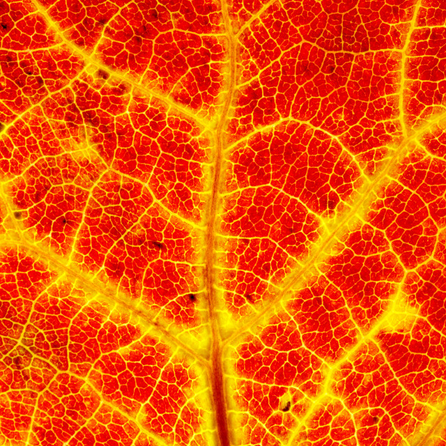 """Aspen leaf"" stock image"