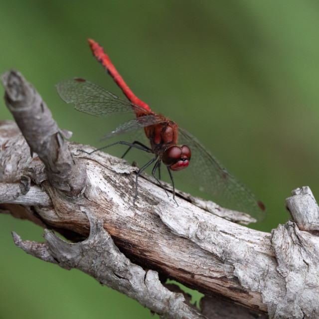 """Dragonfly on dead tree"" stock image"