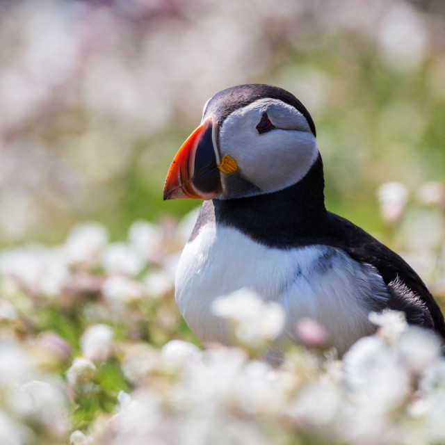 """""""Puffin 3"""" stock image"""