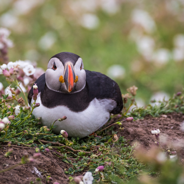 """Puffin 8"" stock image"