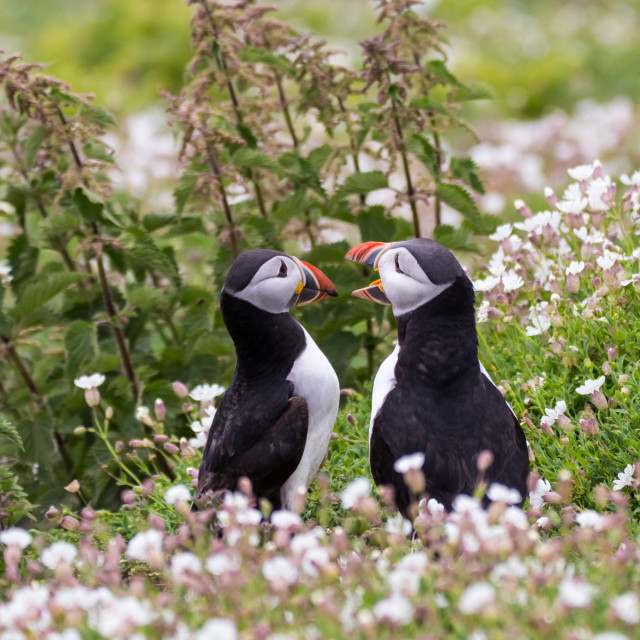 """Puffin 10"" stock image"
