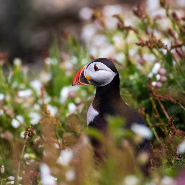 """Puffin 15"" stock image"