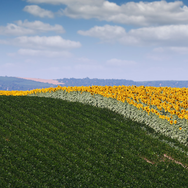 """sunflower and soybean field landscape summer season"" stock image"