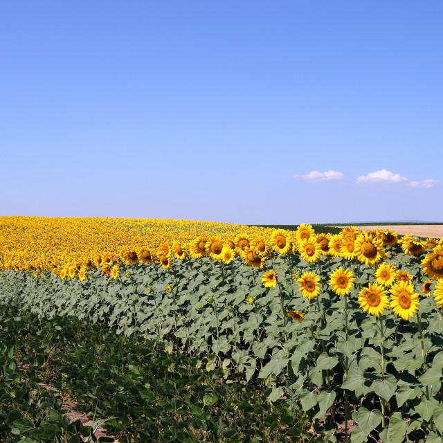 """sunflower and soybean field summer season"" stock image"