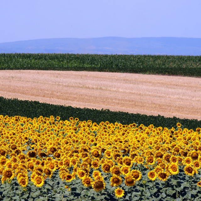 """""""sunflower and soybean colorful fields landscape summer season"""" stock image"""