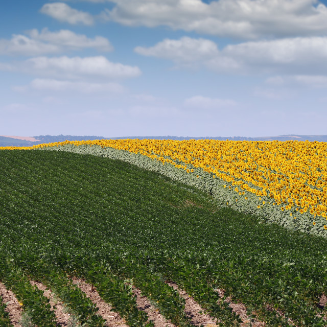 """""""soybean and sunflower field agriculture summer season"""" stock image"""