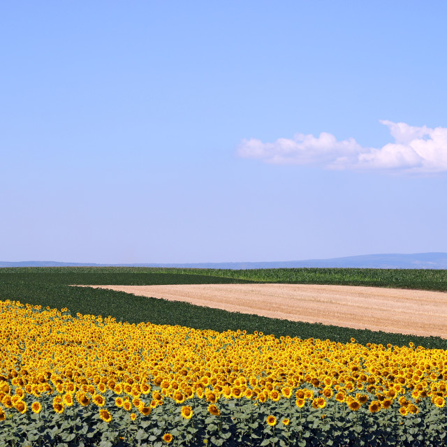 """""""sunflower soybean and corn fields landscape"""" stock image"""