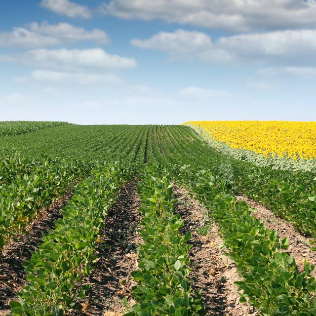 """soybean and sunflower field summer season"" stock image"