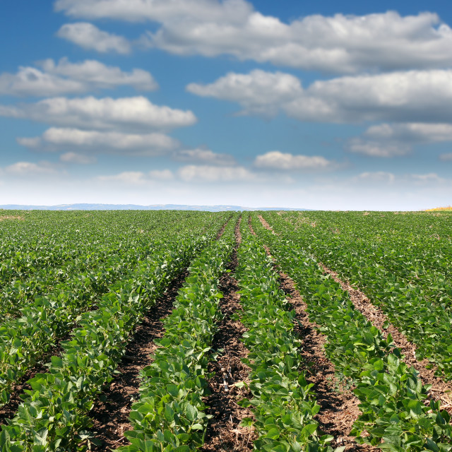 """""""soybean field summer season agriculture"""" stock image"""