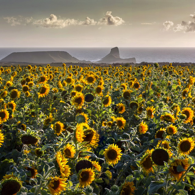 """Sunflowers at Worms Head"" stock image"