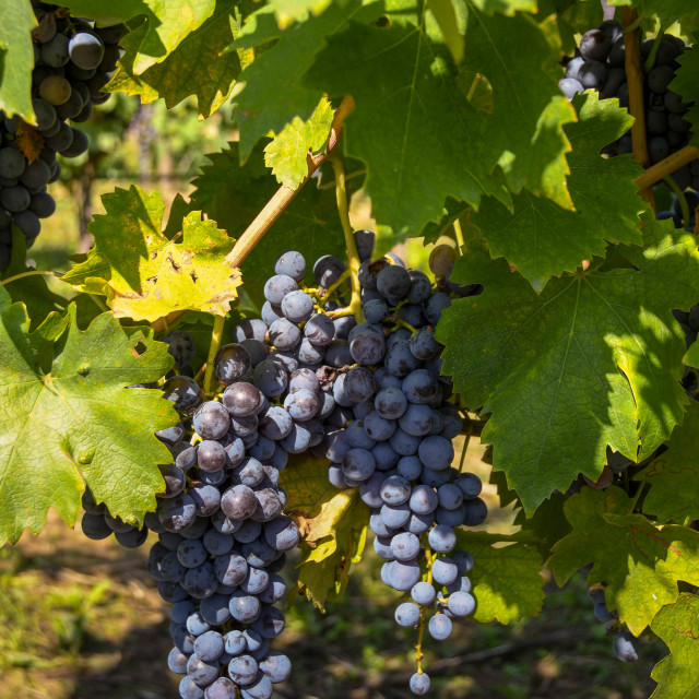 """Red grapes on vine"" stock image"